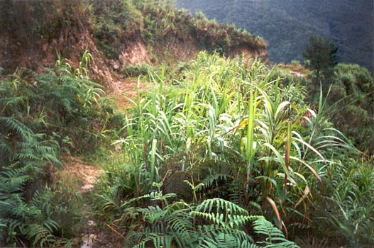 The Philippines: Banaue picture 14