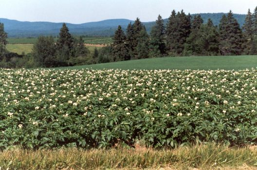 U.S.: East: Farming in Aroostook County picture 5