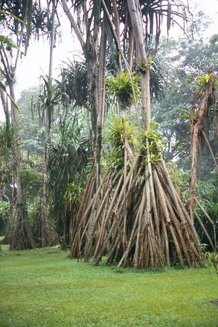 Indonesia: The Botanical Gardens at Bogor picture 10
