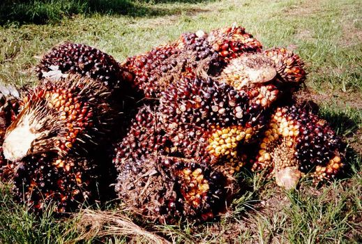 Malaysia: Oil Palm and Rubber picture 4