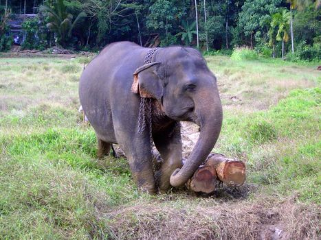 Sri Lanka: Elephant Power picture 2