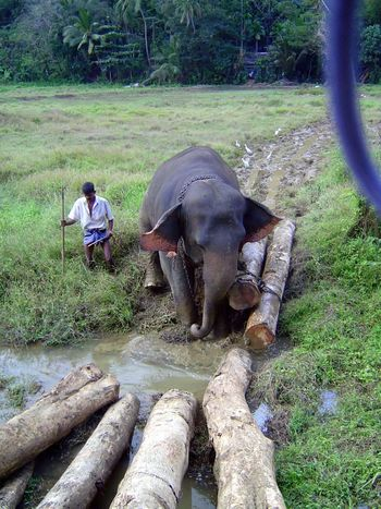 Sri Lanka: Elephant Power picture 5