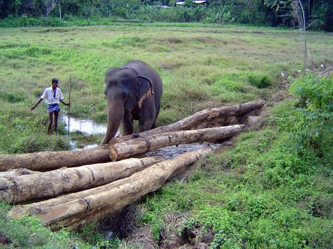 Sri Lanka: Elephant Power picture 6