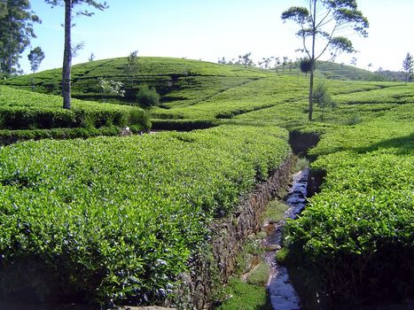 Sri Lanka: Tea Country picture 41